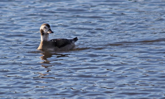 210103 long-tailed duck (3)