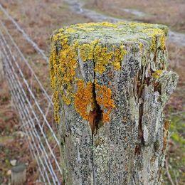 210105 fencepost lichen (1)