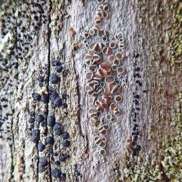 210105 fencepost lichen (4)