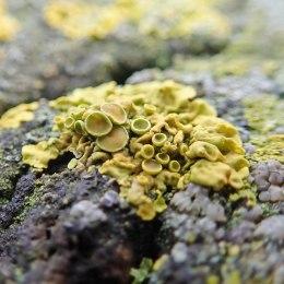 210105 fencepost lichen (5)