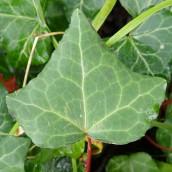 210110 ivy leaf (1)