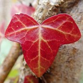 210110 ivy leaf (5)