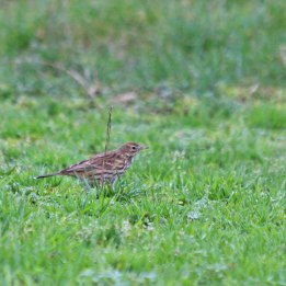 210118 meadow pipit (1)