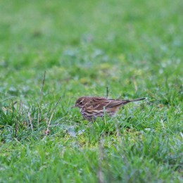 210118 meadow pipit (2)