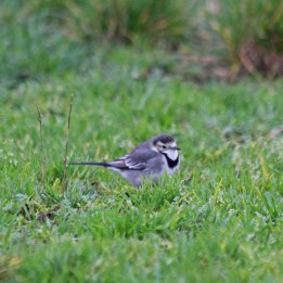 210118 pied wagtail (1)