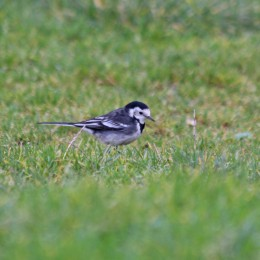 210118 pied wagtail (2)