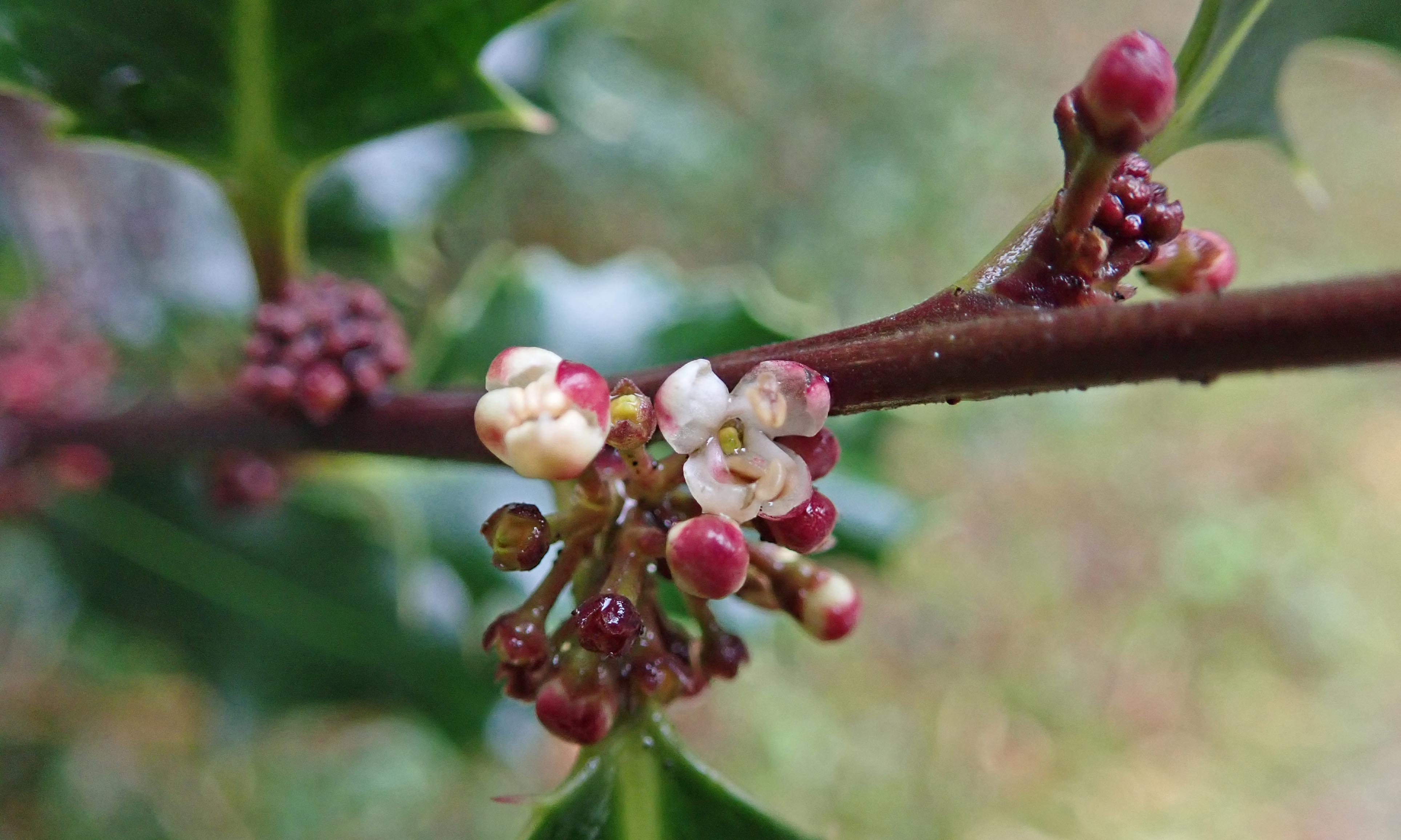 210124 holly flowers (1)