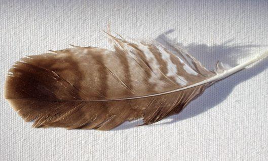 210125 buzzard feathers (1)