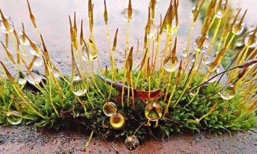210126 common wall mosses (1)