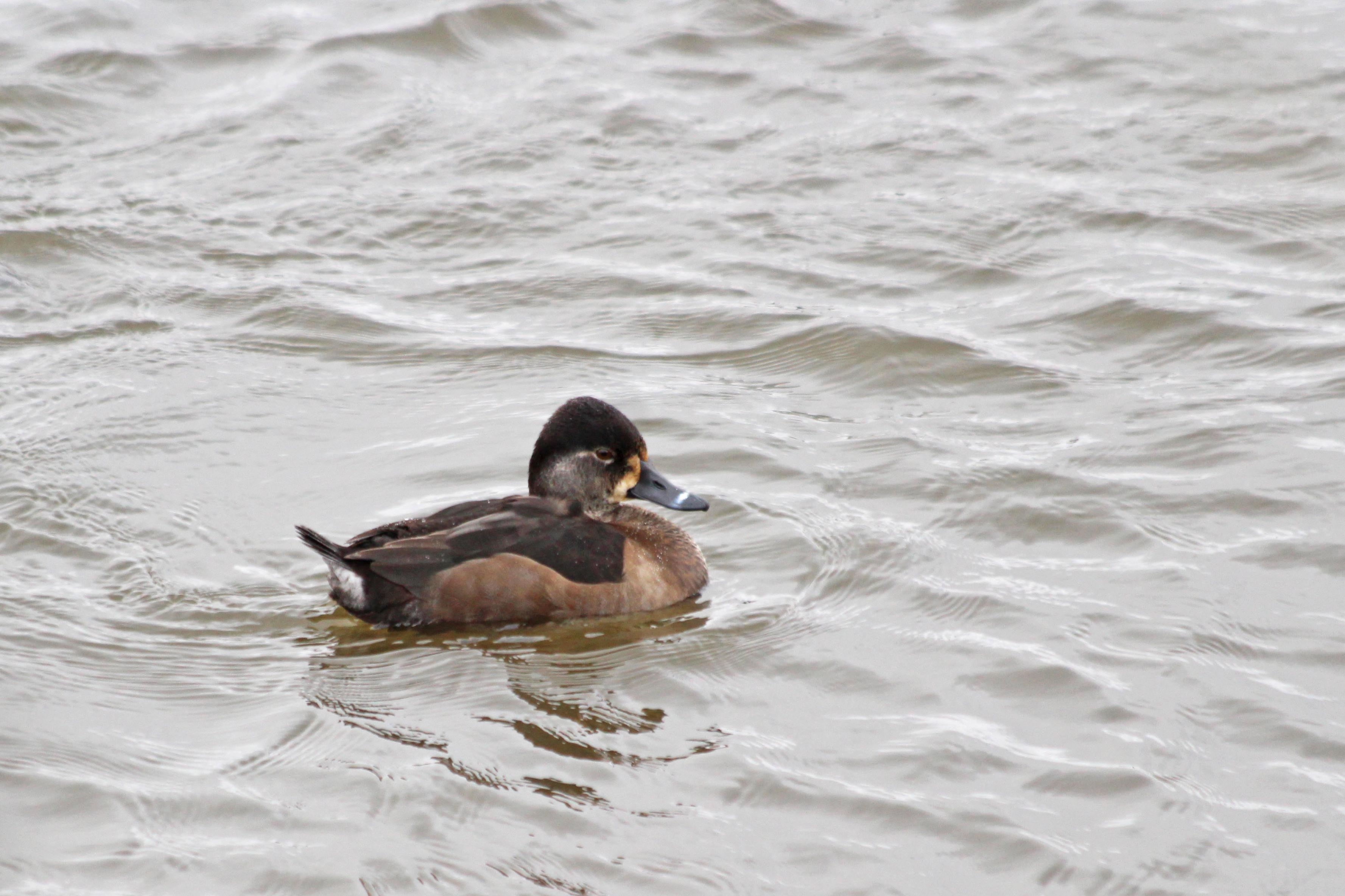 210130 ring-necked duck (2)