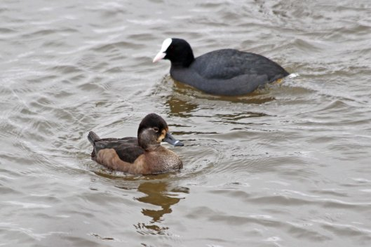 210130 ring-necked duck (3)