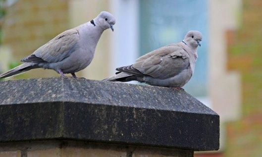 210203 collared dove (1)