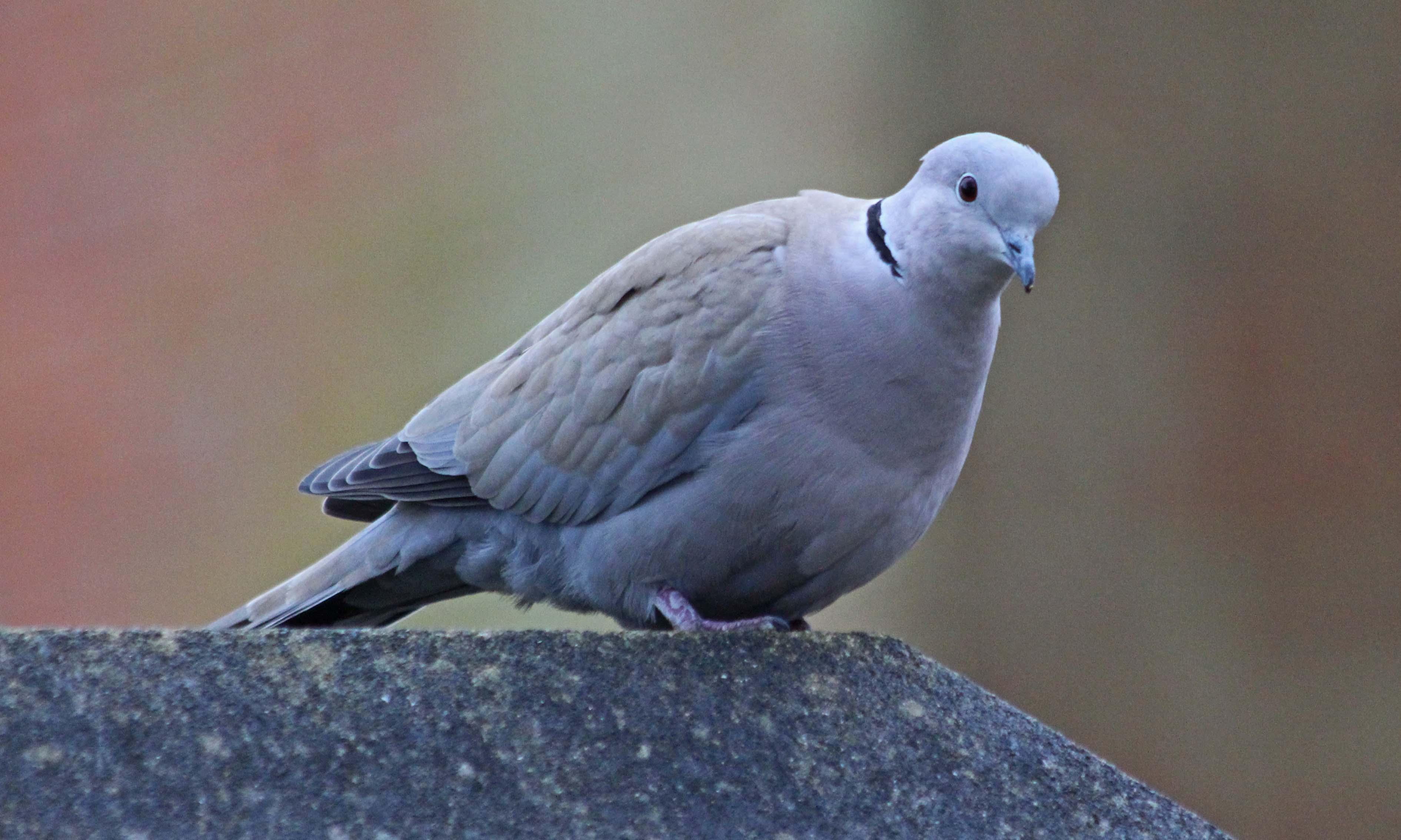 210203 collared dove (2)
