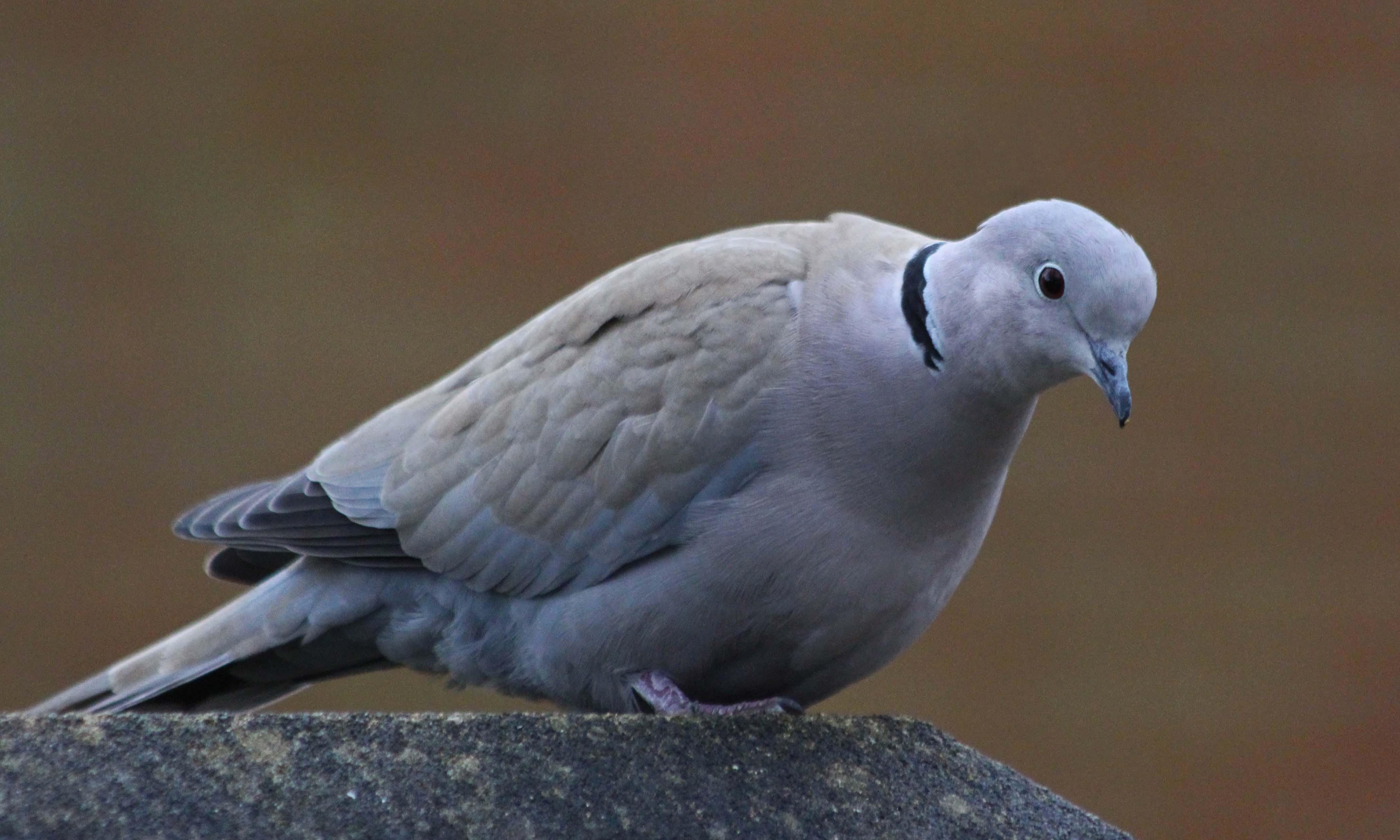 210203 collared dove (3)