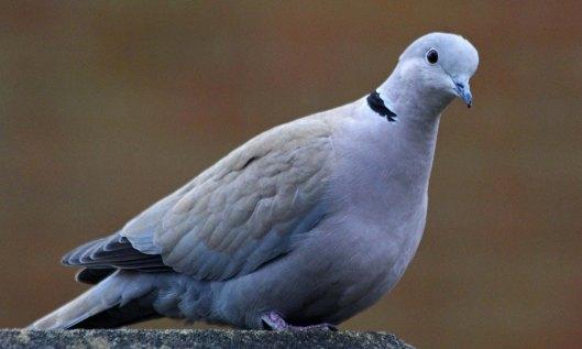 210203 collared dove (4)