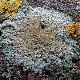 210204 Barrage lichens (7)