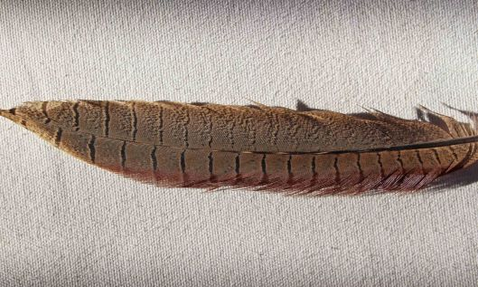 210215 pheasant feather (1)