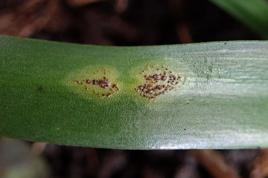 210205 bluebell rust (2)