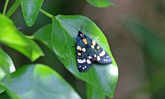 210206 scarlet tiger moth adult