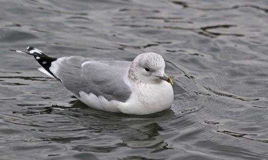 210217 common gull (1)