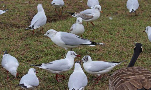 210217 common gull (2)