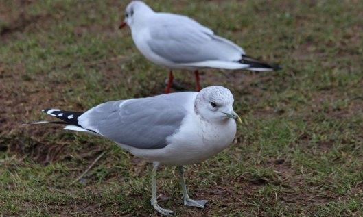 210217 common gull (3)