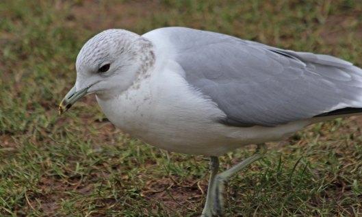 210217 common gull (4)
