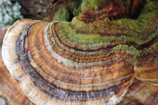 210219 turkey tail (2)