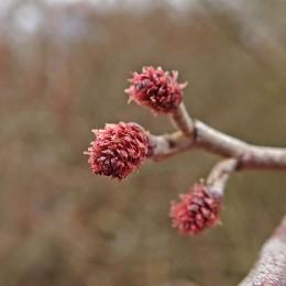 210307 alder flowers (5)