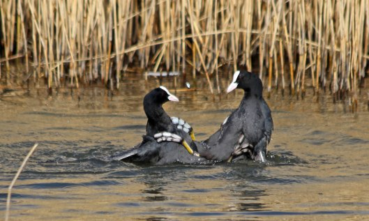 210309 fighting coots (2)