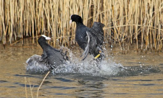 210309 fighting coots (3)