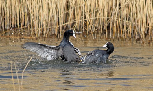 210309 fighting coots (4)