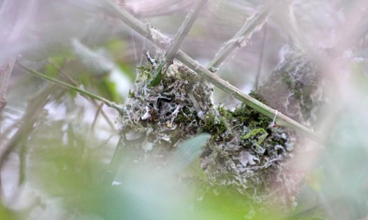 210314 long-tailed tit nest (1)