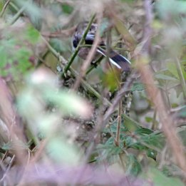 210314 Long-tailed tit nest (2)