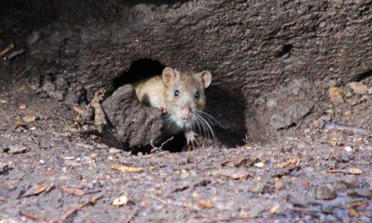 210315 rats (1)