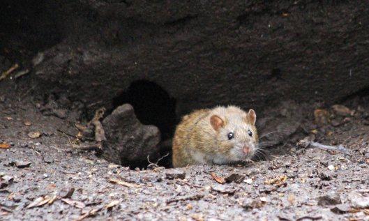 210315 rats (2)