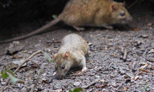 210315 rats (4)