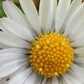 210316 daisy