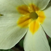 210316 primrose yellow