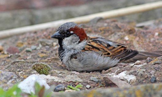 210320 house sparrow (1)