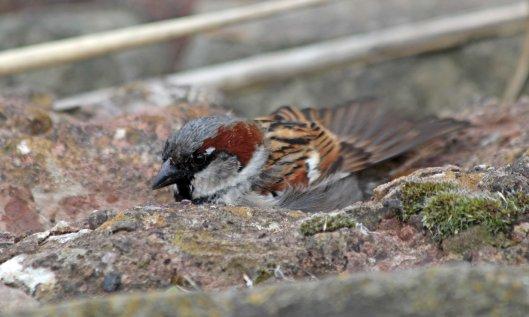 210320 house sparrow (2)
