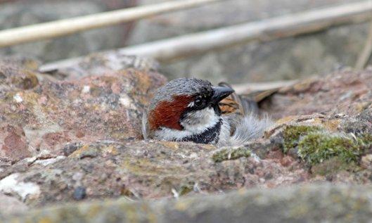 210320 house sparrow (3)