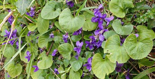 210321 Viola odorata var odorata (1)