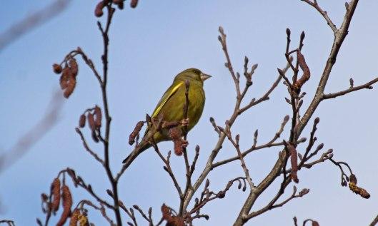 210323 greenfinch