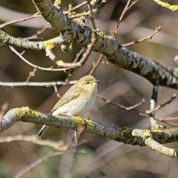 210329 willow warbler (1)