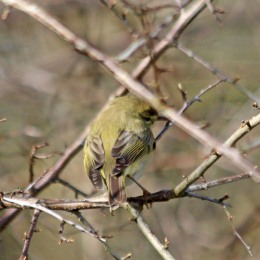 210329 willow warbler (2)