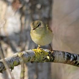 210329 willow warbler (3)