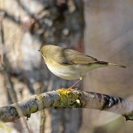 210329 willow warbler (4)