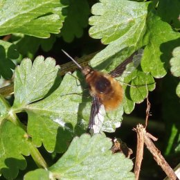 210330 dark-edged bee-fly (3)