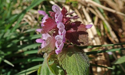 210404 red dead-nettle